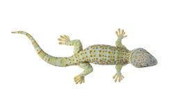 Tokay gecko - Gekko gecko Royalty Free Stock Image