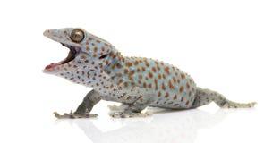Tokay gecko - Gekko gecko Stock Images