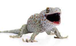 Tokay gecko - Gekko gecko. In front of a white background stock photo