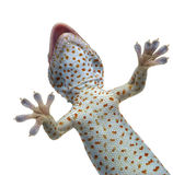 Tokay gecko - Gekko gecko. In front of a white background royalty free stock images