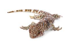 Tokay Gecko, Gekko gecko, against white background. Tokay Gecko, Gekkos gecko, against white background royalty free stock photo