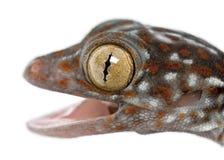 Tokay Gecko, Gekko gecko, close upp Royaltyfri Foto