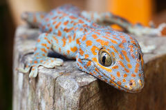 Tokay gecko, Gekko gecko. Cute Baby Tokay gecko, Gekko gecko froze at the sight of people sitting in a tree on background tropical nature at sunny summer day royalty free stock image