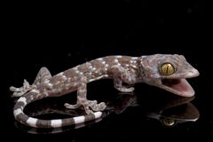 Tokay Gecko Gekko gecko isolated on black