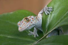Tokay gecko (Gekko gecko). On leaves stock photos