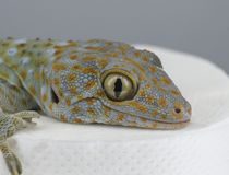Tokay gecko head closeup. Sitting on the toilet paper. stock images