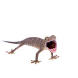 Tokay Gecko isolated on white background Stock Images