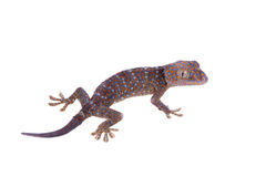 Tokay Gecko isolated on white background Royalty Free Stock Photography