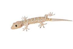 Tokay gecko Stock Photography