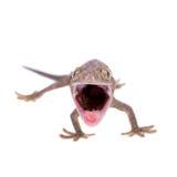 Tokay-Gecko lokalisiert auf weißem Hintergrund stockbild