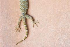Tokay Gecko on the wall Royalty Free Stock Image