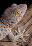Tokay gecko on wood. A tokay gecko is shown on driftwood stock images