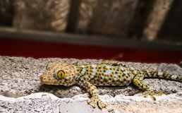 Tokay Geckoabschluß oben lizenzfreie stockfotografie