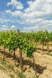 Tokay grapes Royalty Free Stock Photo