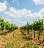 Tokay grapes Royalty Free Stock Image