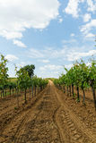 Tokay grapes Stock Photo