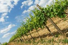 Tokay grapes Royalty Free Stock Images