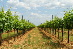Tokay grapes Stock Image