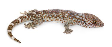 Tokaygekko, Gekko-gekko, tegen witte achtergrond stock fotografie