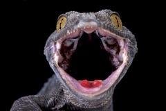 Tokeh (гекконовые Gekko) стоковое изображение