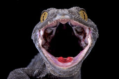 Tokeh (Gekko gecko). The Tokeh (Gekko gecko) is one of the largest and by far the most aggressive gecko species in the world. They are found in Southeast Asia. 3 stock image