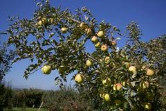 Toki äpplen i japansk fruktträdgård Arkivfoton
