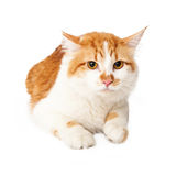 Tokig guling- och vitkatt som ner lägger Royaltyfri Foto