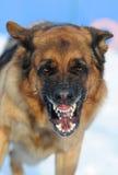 tokig hund Arkivbild