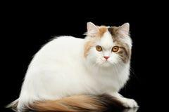 Tokiga skotska höglands- raka Cat Sitting, isolerad svart bakgrund Royaltyfri Fotografi