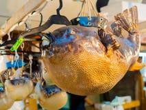 TOKIO, JAPONIA CZERWIEC 28, 2017 -: Zakończenie up suchy blowfish obwieszenie w Tsukiji rynku, jest dużym hurtowym ryba i Obrazy Royalty Free