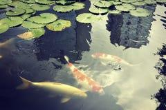Tokio karpia ryba zdjęcie royalty free