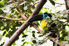 Tukan on the tree, bird royalty free stock images