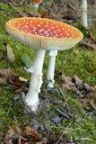 Toksyczny grzyb w Finlandia w archipelagu w południe Finlandia Zdjęcia Stock