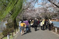 Tokyo cherry blossom Stock Photos