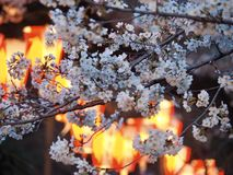 Tokyo Cherry Blossoms en Lantaarns royalty-vrije stock afbeelding