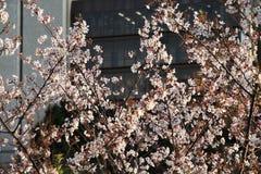 Tokyo cherry blossoms. Tokyo spring time. Cherry blossoms in Tokyo, Japan. White sakura in sunset light stock photography