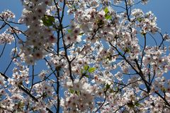 Tokyo cherry flowers Royalty Free Stock Photography