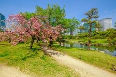 Tokyo garden Hanami Stock Photography