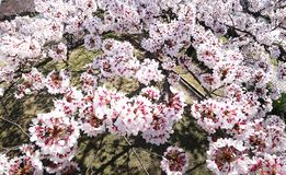 Closeup of Cherry blossoms from Bird`s view in a park in Tokyo. Tokyo,Japan-April 2, 2019: Closeup of Cherry blossoms from Bird`s view in a park in Tokyo royalty free stock image
