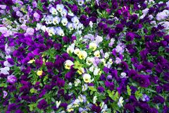 Flower carpet of pansies. Stock Images