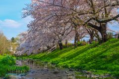 Beautiful path with sakura full bloom Stock Photo