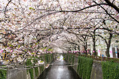 Tokyo Japan - April 10, 2017: Körsbärsröd blomning eller Sakura på Megur Royaltyfri Foto