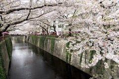 Tokyo Japan - April 10, 2017: Körsbärsröd blomning eller Sakura på Megur Royaltyfria Foton