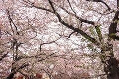 Tokyo Japan - April 10, 2017: Körsbärsröd blomning eller Sakura på Megur Royaltyfria Bilder