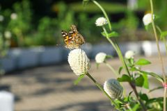 A small copper on white clover flower stock photography