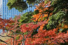 Tokyo Japan autumn. Autumn in Tokyo - plane tree orange leaves and an office building Stock Photo