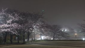 Foggy morning scene of cherry blossoms with twitter of birds in a park in Tokyo after the rain stock footage