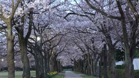 Morning scene of cherry blossoms arcade with twitter of birds in a park in Tokyo