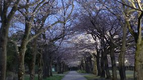 Morning scene of cherry blossoms arcade with twitter of birds in a park in Tokyo stock video