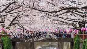 Time lapse of Cherry blossom festival in full bloom at Meguro River. Meguro River is one of the best place to enjoy it, Tokyo, Jap. TOKYO, JAPAN - MARCH 29, 2019 stock video footage